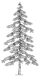 Conifere In Prospetto Dwg Conifer Drawings
